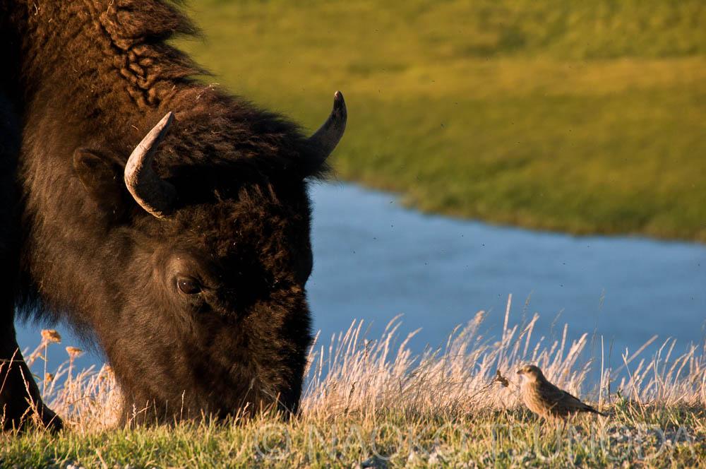 Bison & Bird
