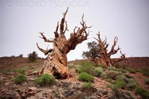 Ancient Bristlecone Pine 1